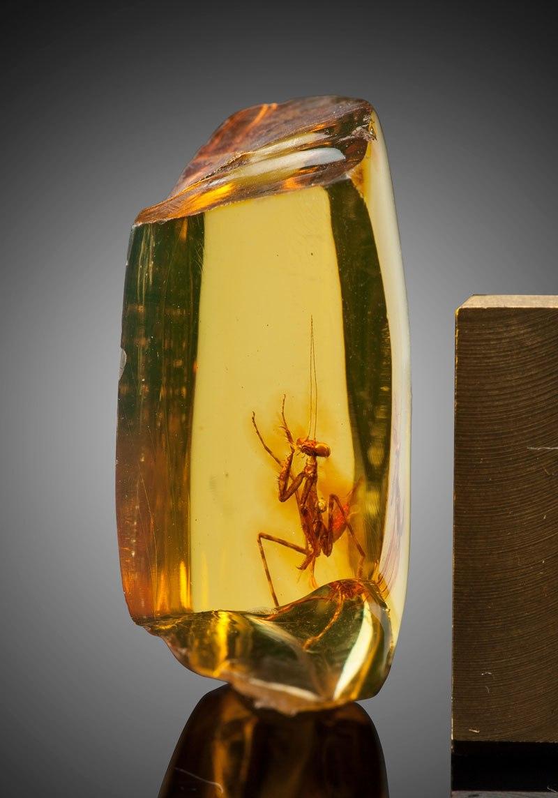 12-Million-Year-Old Praying Mantis