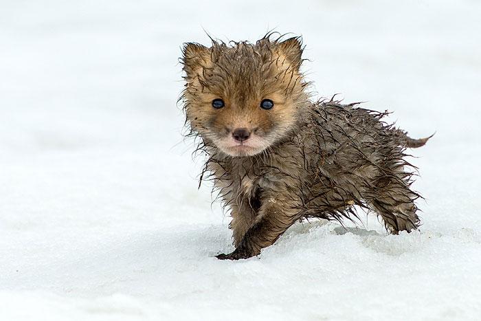 Arctic Fox Photography
