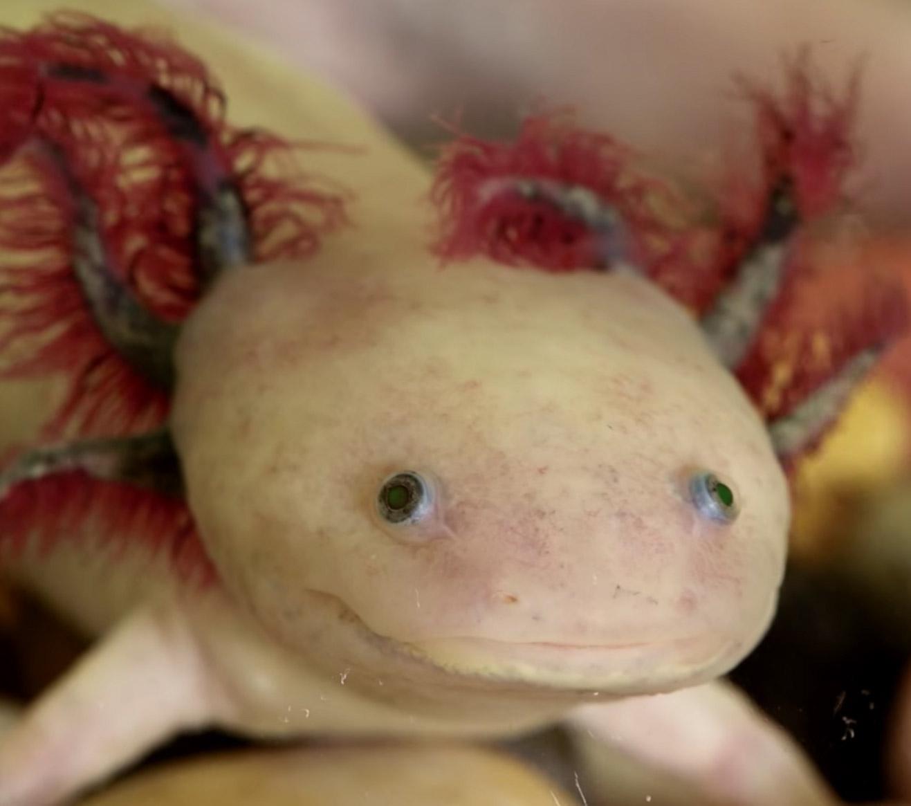 Axolotl Salamander Regeneration