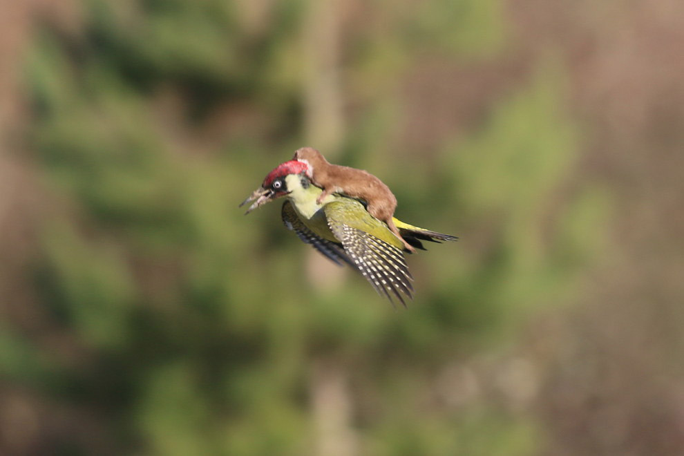 Baby Weasel Riding