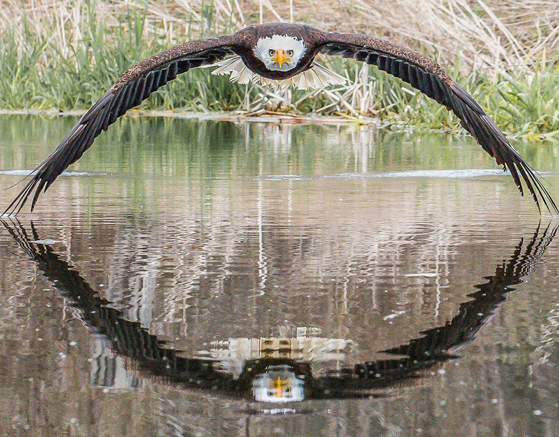Bald Eagle Perfectly Symmetrical Reflection
