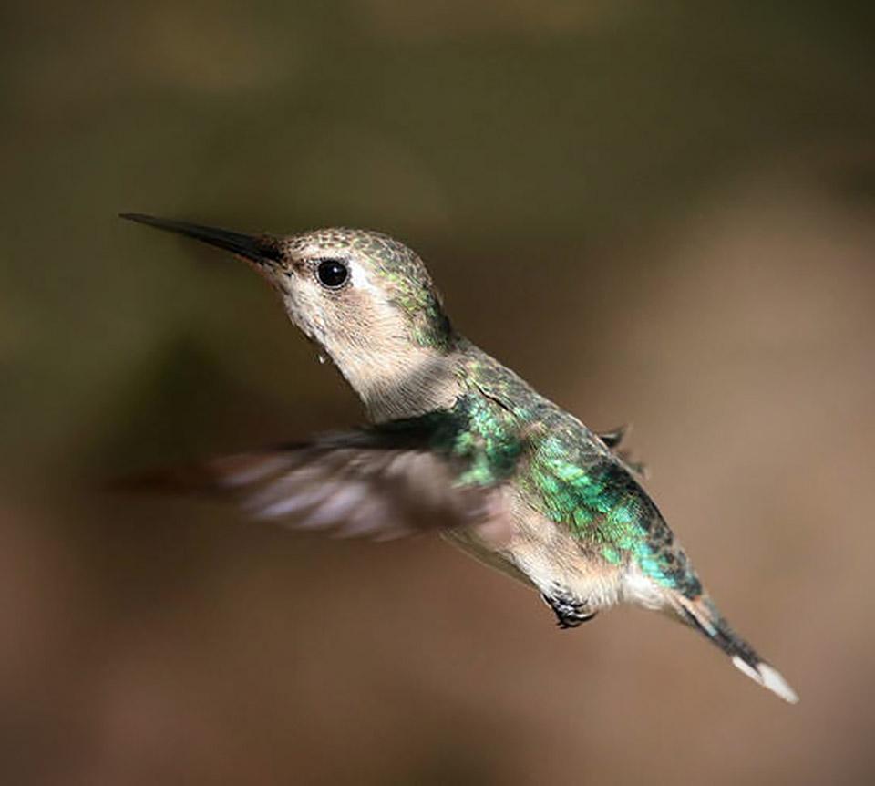 Bee Hummingbird Smallest Bird