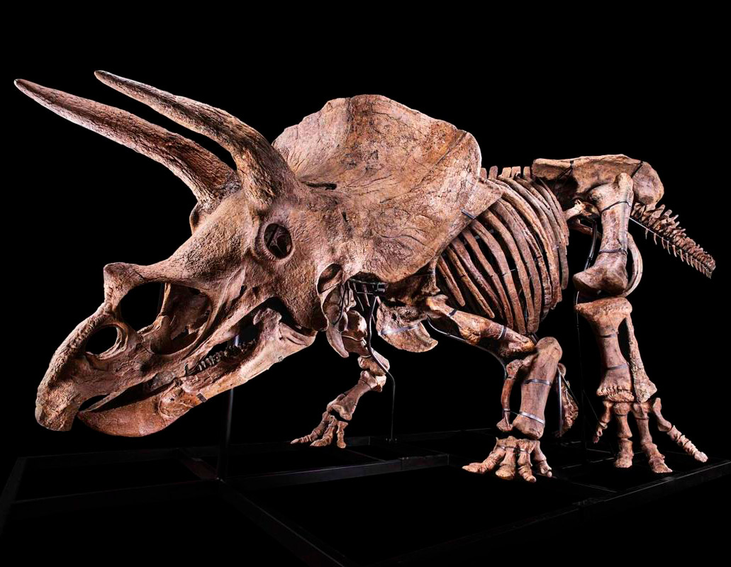 Big John Largest Triceratops Dinosaur Skeleton Paris