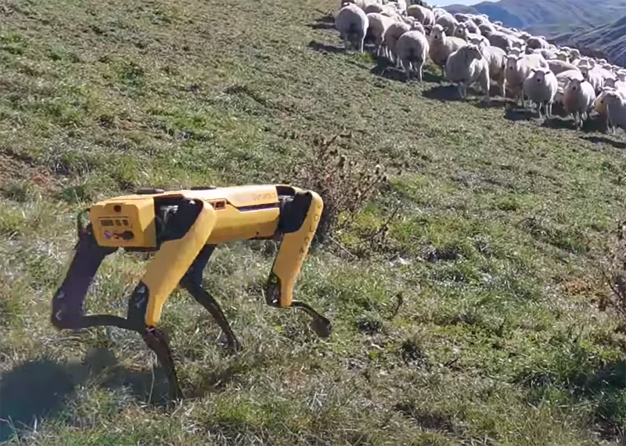 Boston Dynamics Spot Robot Farm Sheep