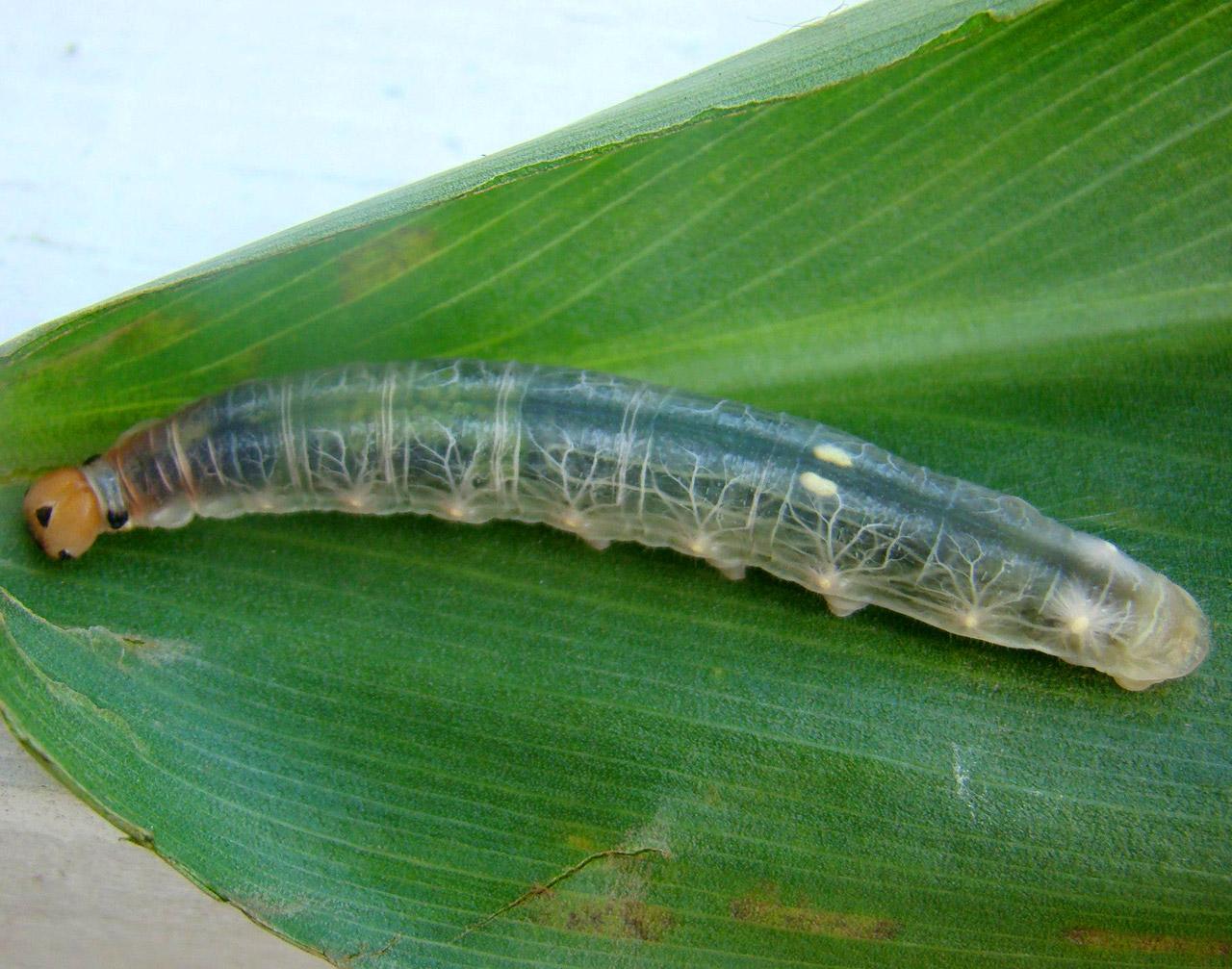 Brazilian Skipper Caterpillar Translucent Transparent Body