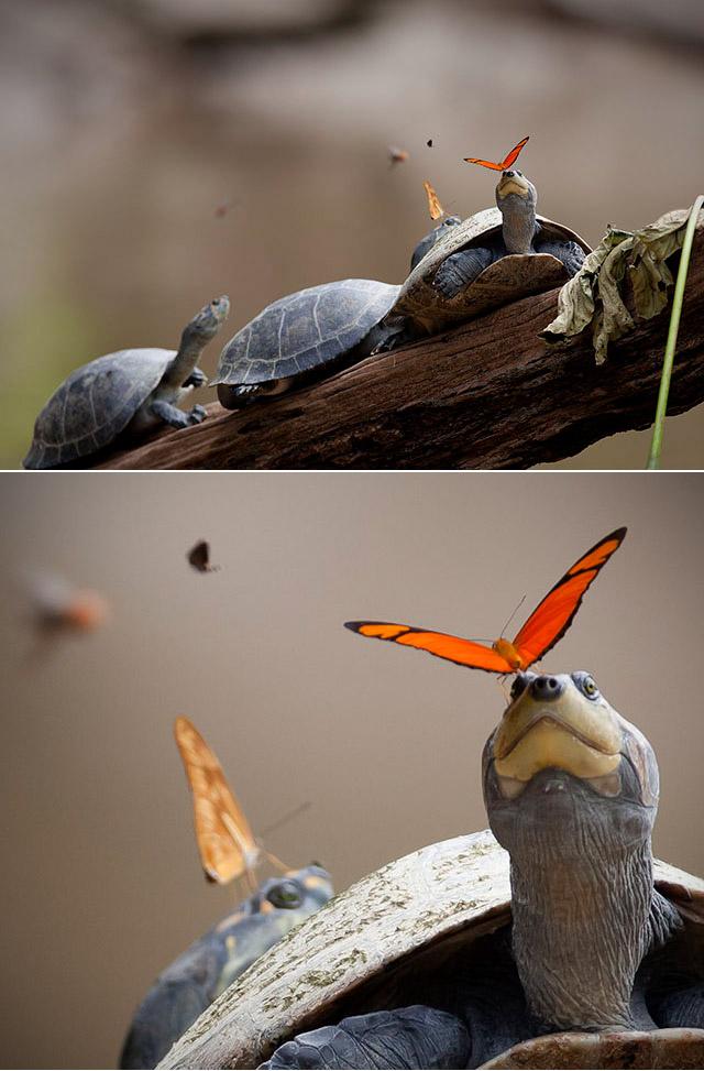 Butterfly Turtle Tears