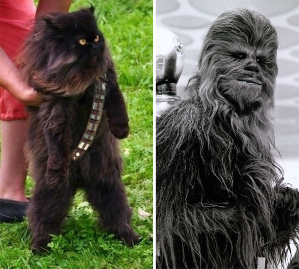 Cat Chewbacca Lookalike