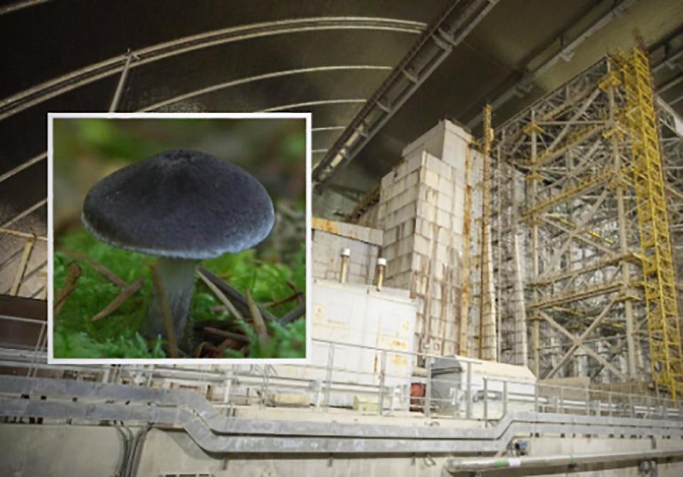 Chernobyl Disaster Fungus Radiation Mars