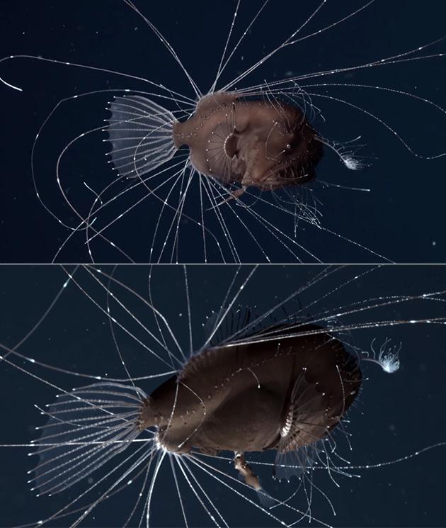 Deep-Sea Anglerfish Pair