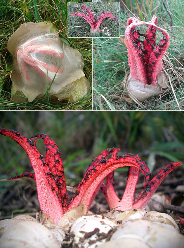 Devil's Fingers Alien Eggs