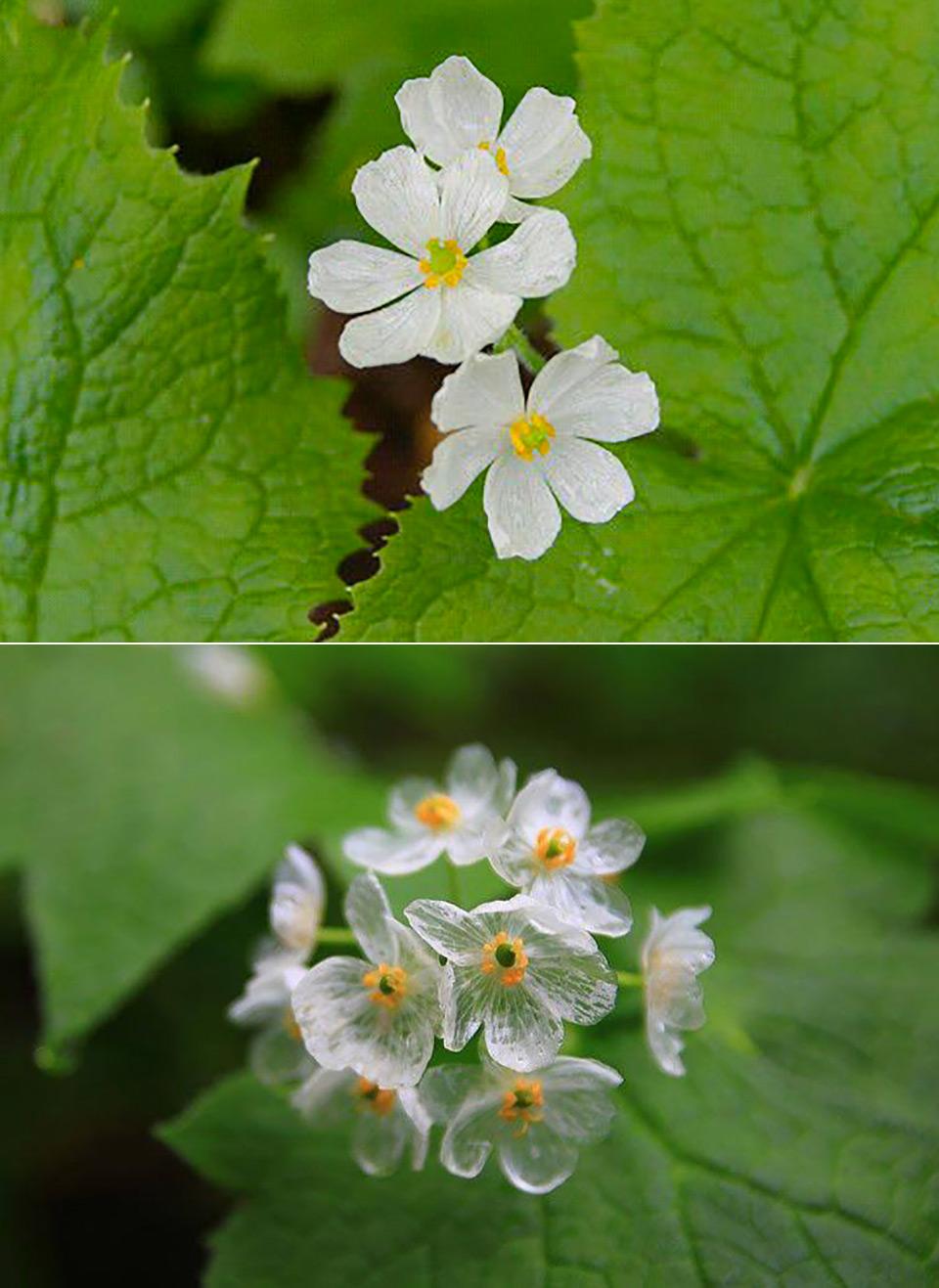 Diphylleia Grayi Skeleton Flower Translucent
