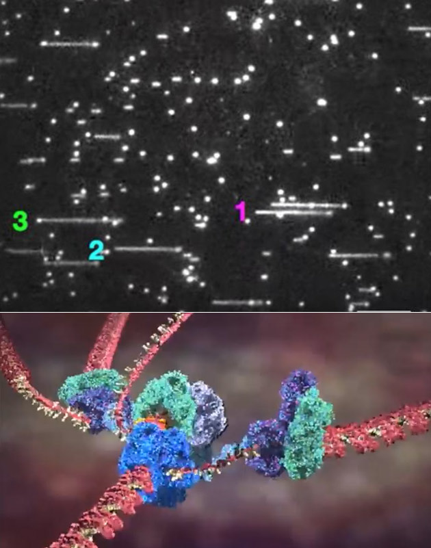 DNA Replication Filmed