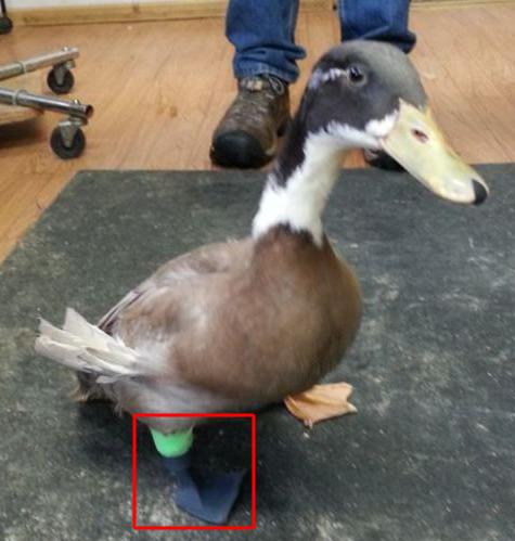 Duck Prosthetic Leg
