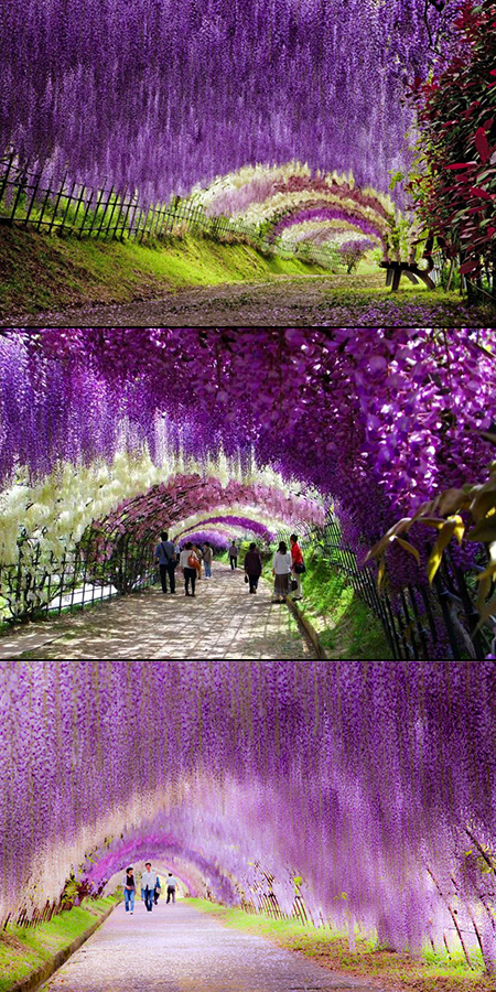Japan Flower Tunnel Flower Tunnel in Japan