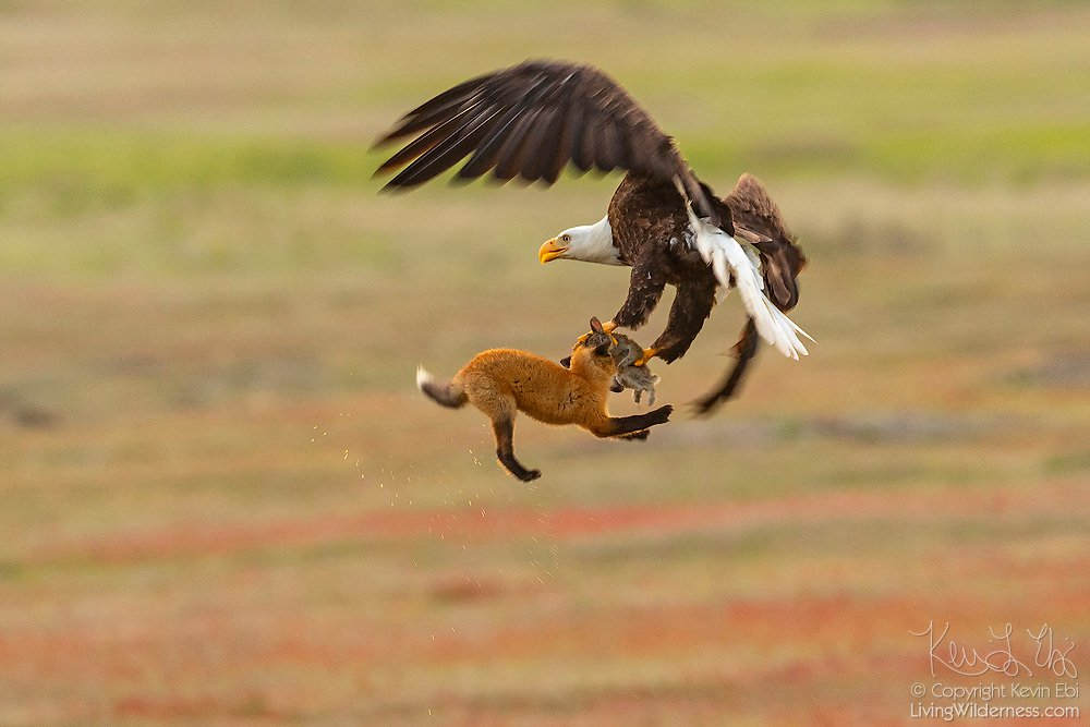 Fox Eagle Rabbit