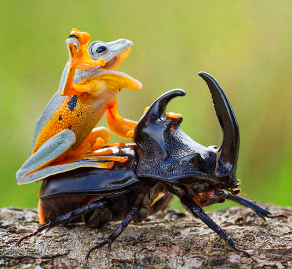 Frog Rides Beetle