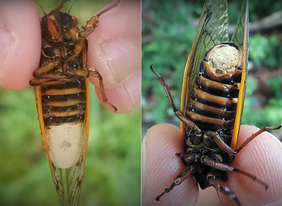 Parasitic Fungus Cicadas Zombie