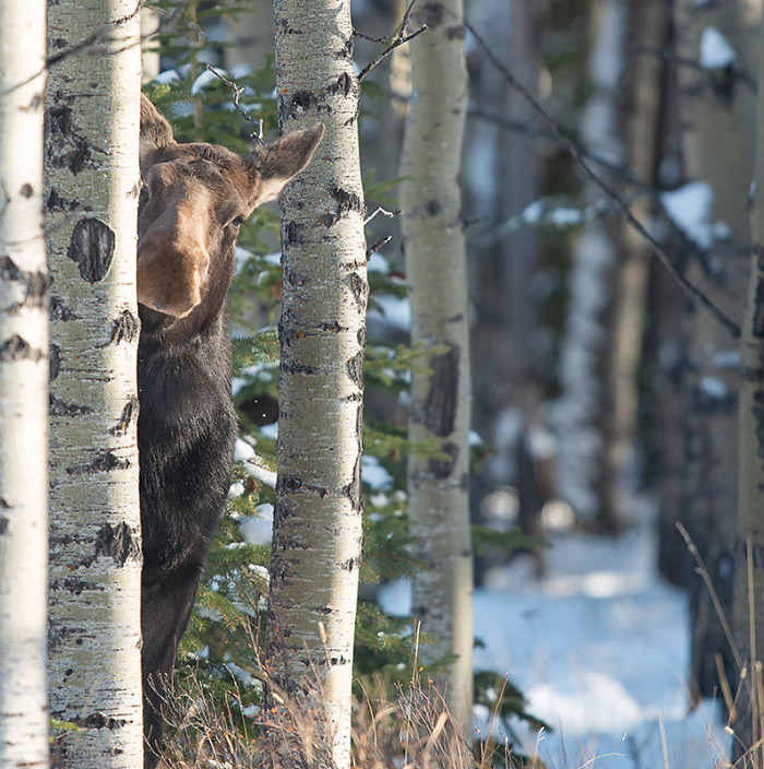 Peeking Moose and 10 More of the Funniest Wildlife Photographs This Year