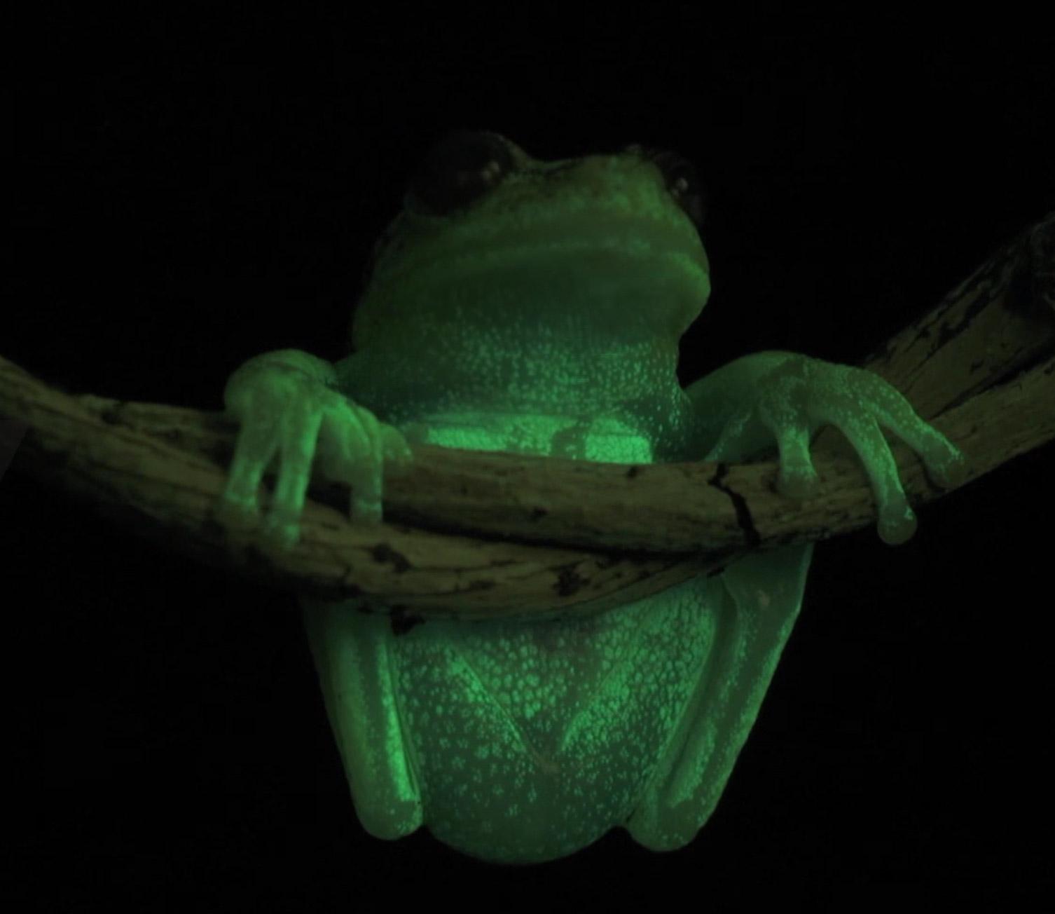 Glow-in-the-Dark Amphibians Frog Salamander