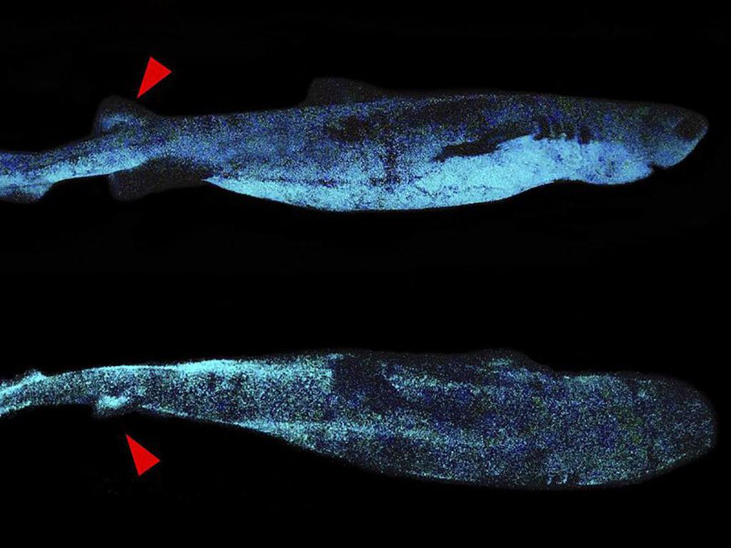 Glow-in-the-Dark Glowing Kitefin Shark