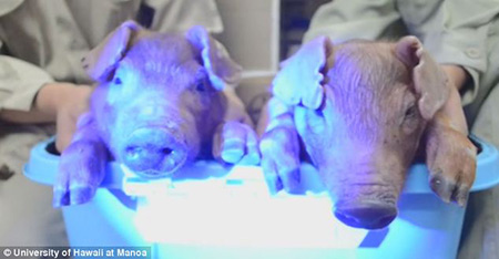 Scientifiques injectent porcs avec l'ADN de la méduse, lueur dans la Version sombre s'ensuit