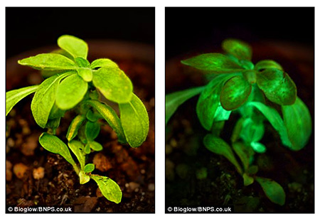 Researchers Develop Plant That Glows So Bright It Can Be