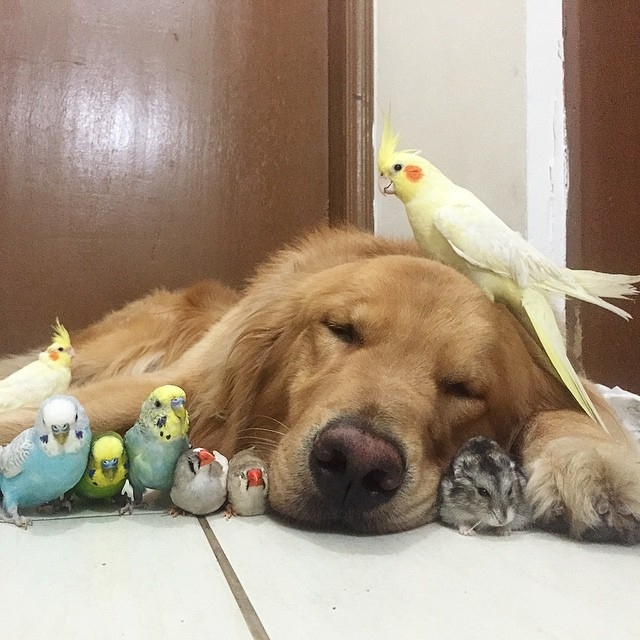 Golden Retriever Birds Hamster