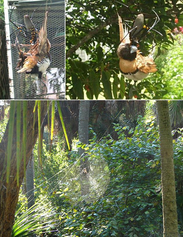 Bird-Eating Spider