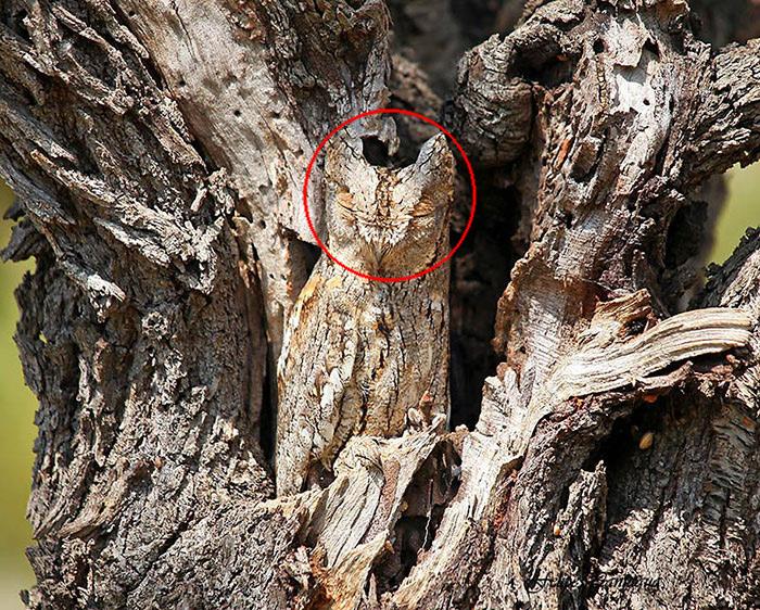 Grand-duc d'amérique et 10 de Plus Incroyable des Instances de Camouflage Animal dans la Nature