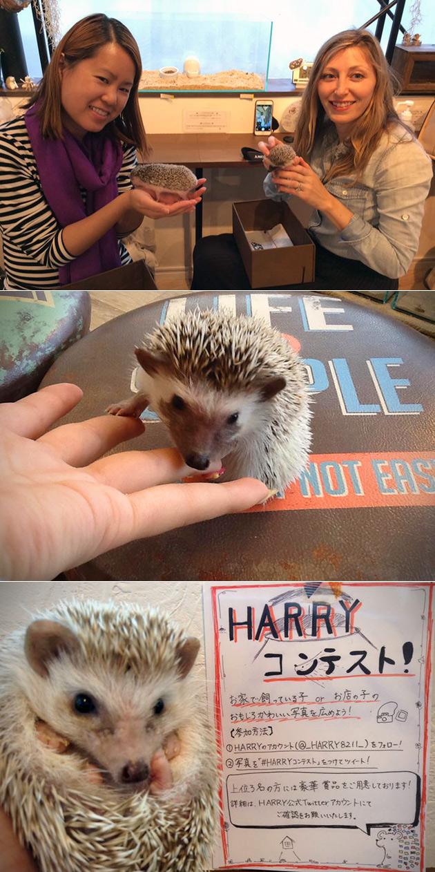 Hedgehog Cafe Japan