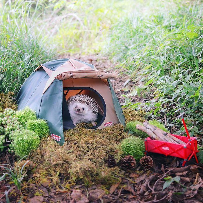 Hedgehog Camping