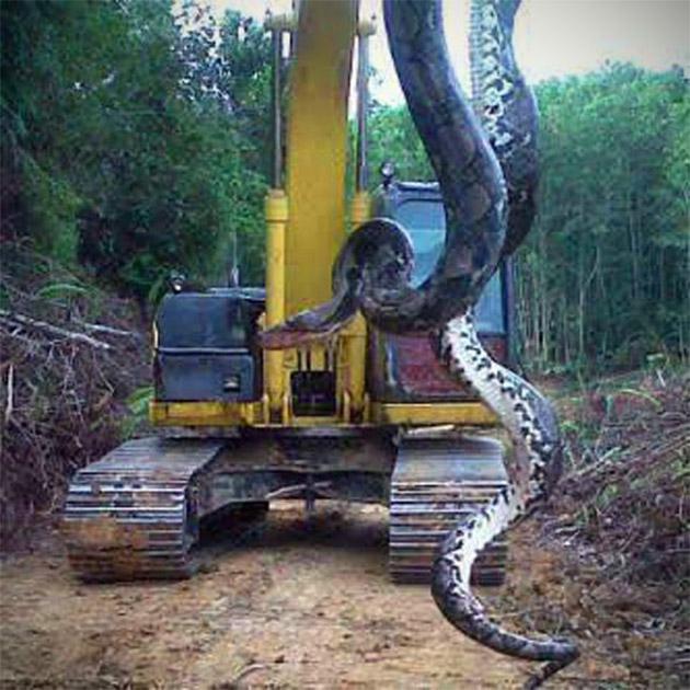 Largest Snake
