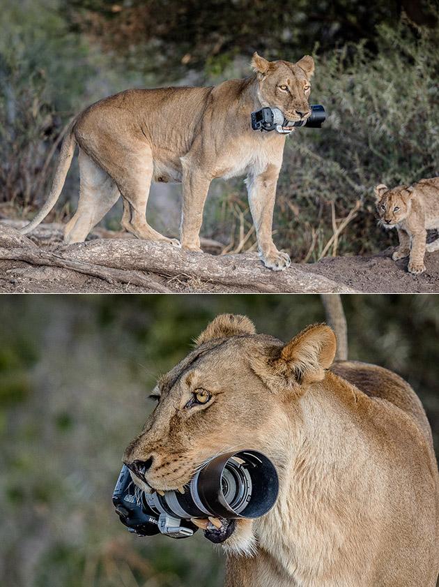 Lioness DSLR Camera