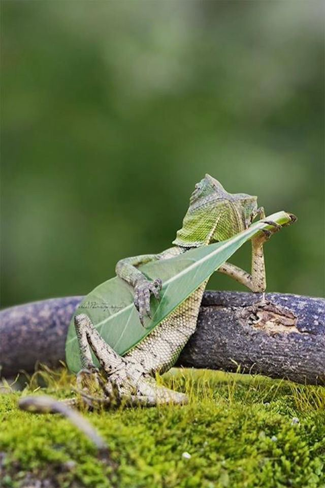 Lizard Strumming Leaf