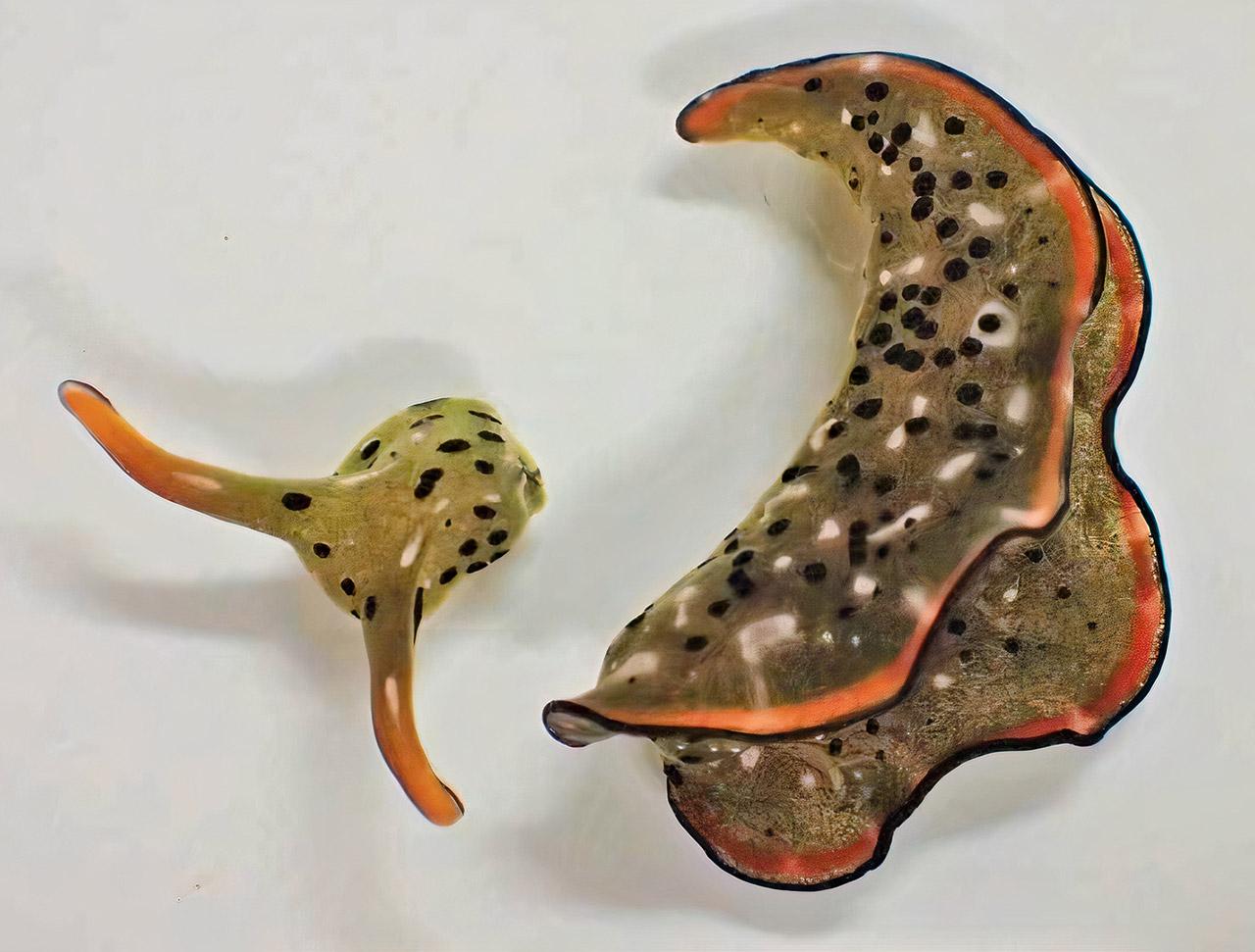 Marginata Sea Slug Cut Off Head