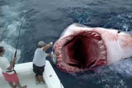 super predator devours great white shark whole might be the