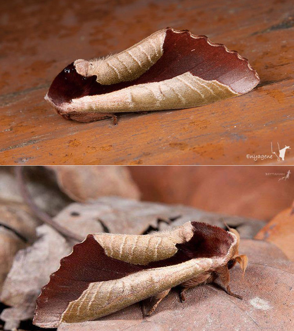 Moth Mimic Leaf