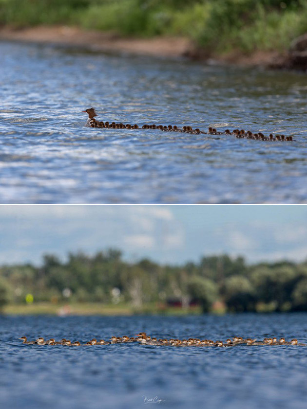 This is Not Photoshopped, Photographer Captures a Mother Duck with 76 Ducklings