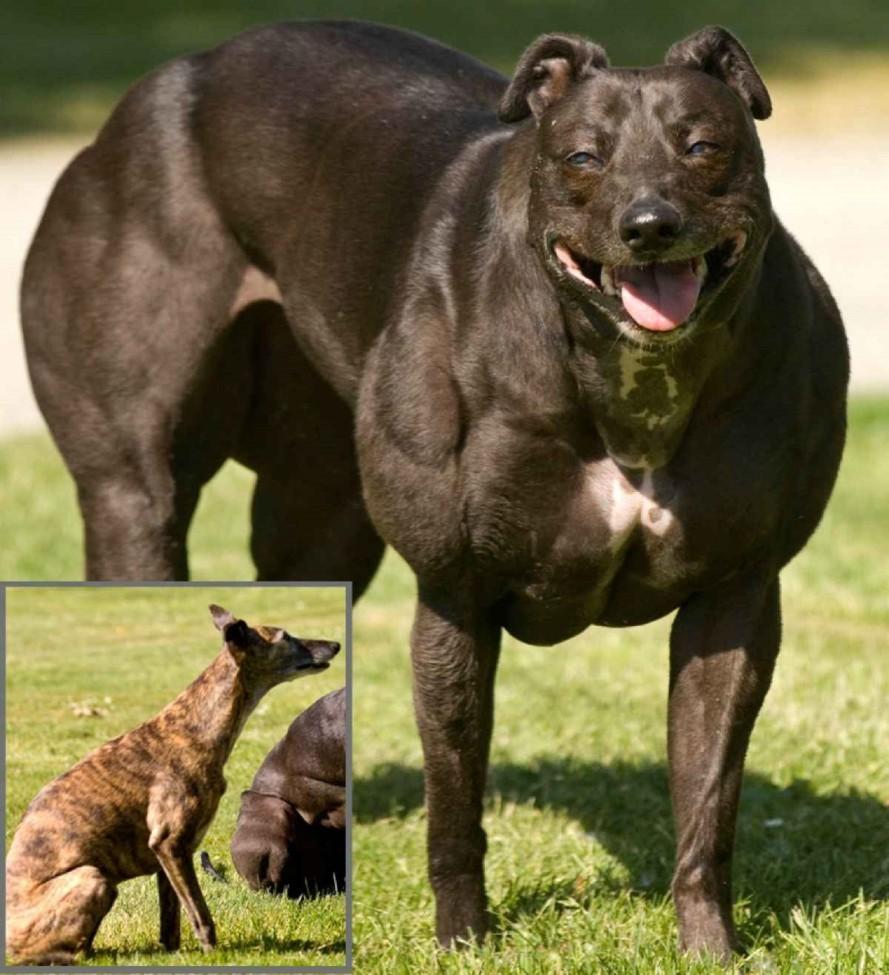 Muscular Dog
