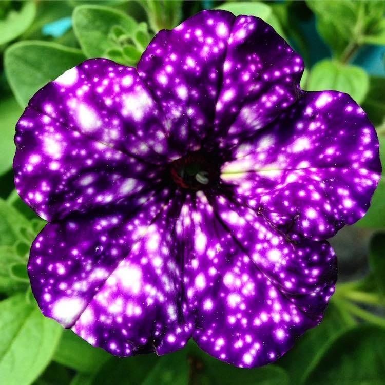 NightSky Petunia