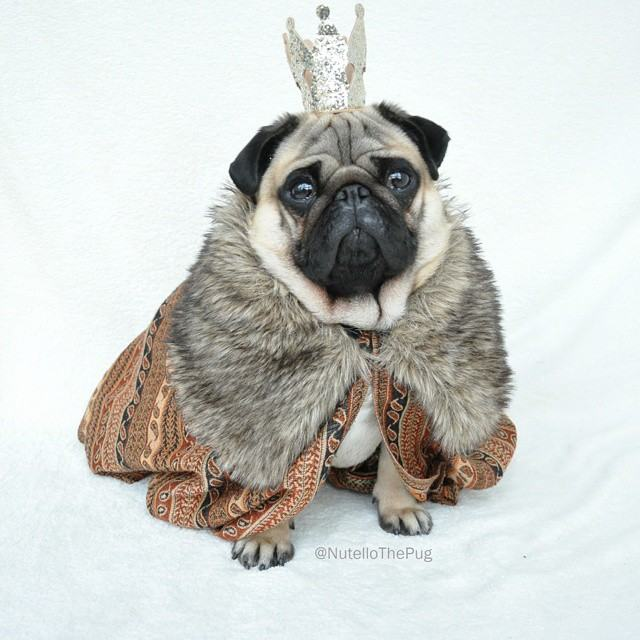 Nutello the Pug