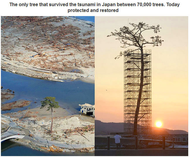 Only Tree Standing Japan Tsunami