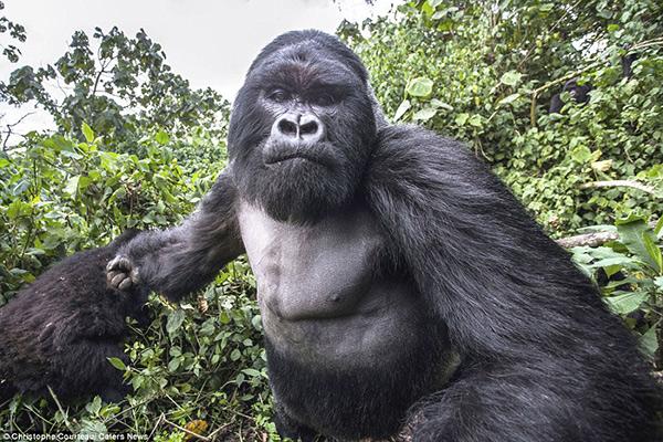 Photographer Silverback Gorilla
