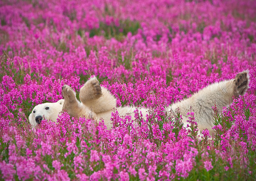Polar Bears Flowers