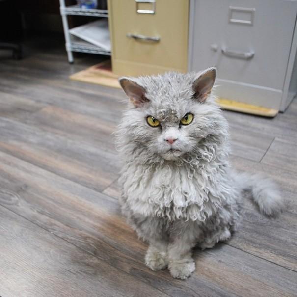 Pompous Albert Sheep Cat