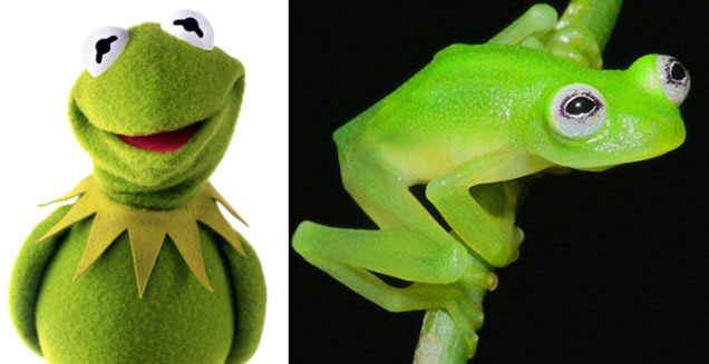 Real Kermit Frog