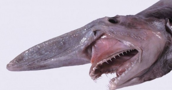 Real Goblin Shark