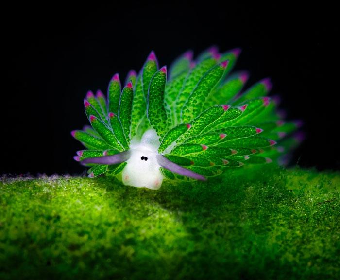 Sea Slug Photosynthesize