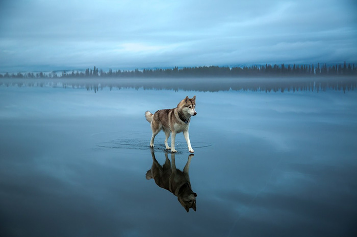 Siberian Huskies Dogs Walking on Water