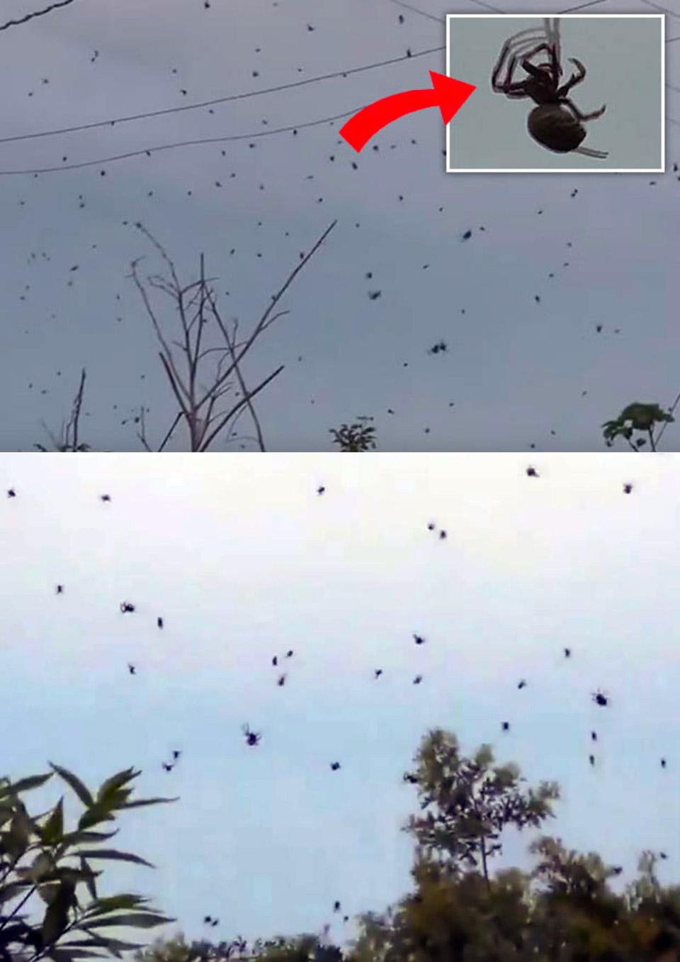 Spider Brazil Raining Spiders